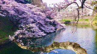 満開の桜の写真・画像素材[3004473]