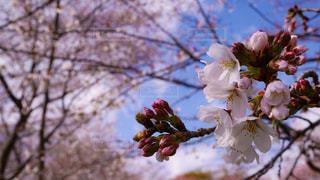 桜が咲き始めるころの写真・画像素材[3004822]