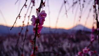 枝垂れ梅と富士の写真・画像素材[3004835]