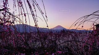梅林と富士の写真・画像素材[3014257]