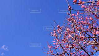 青空と梅の写真・画像素材[3014258]