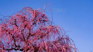 青空の枝垂れ梅の写真・画像素材[3014310]