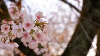 桜の写真・画像素材[3038228]