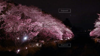 夜桜の写真・画像素材[3047286]