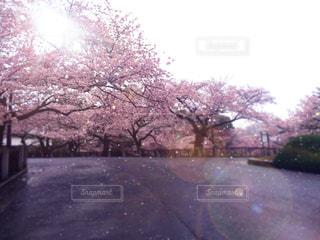 桜の写真・画像素材[3047285]