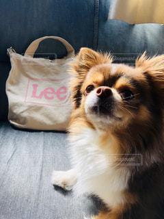 犬,動物,かわいい,茶色,ペット