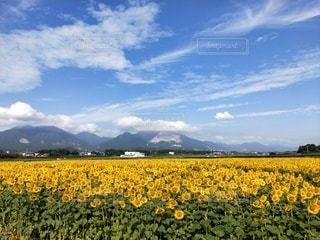 自然,風景,空,花,屋外,ひまわり,雲,黄色,山,景色,草木,日中