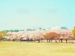 快晴と公園と満開の桜の写真・画像素材[3038620]