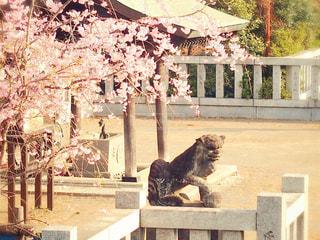 狛犬と春の写真・画像素材[3038621]