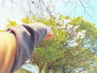 桜,屋外,サクラ,指,樹木,人,指差し,さくら