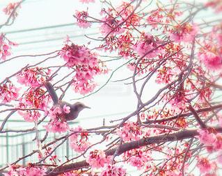 花,桜,鳥,サクラ,さくら,ブロッサム