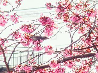 花,桜,枝,樹木,草木,さくら,ブロッサム