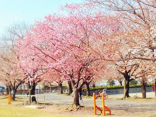 公園,花,春,屋外,満開,樹木,草木,桜の花,さくら,ブロッサム