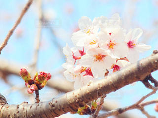 花,桜,枝,鮮やか,蕾,草木,桜の花,ブルーム,ブロッサム,満開間近