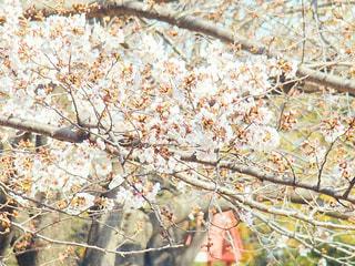 花,春,桜,屋外,葉,満開,樹木,草木,ブロッサム