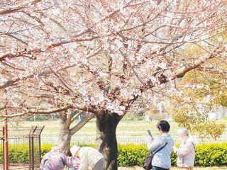 女性,2人,風景,公園,花,桜,屋外,樹木,草木,さくら,ブロッサム
