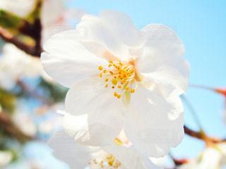 花,桜,景色,花びら,草木,さくら,ブルーム,ブロッサム,フローラ