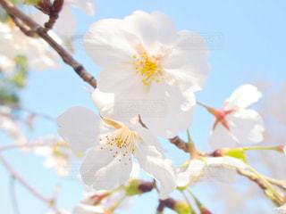 空,花,春,桜,満開,樹木,草木,花弁,さくら,ブルーム,ブロッサム