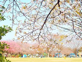 子ども,5人以上,空,公園,花,桜,屋外,樹木,さくら