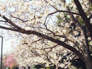 公園,花,桜,森林,屋外,葉,樹木,日陰,草木,日中,さくら
