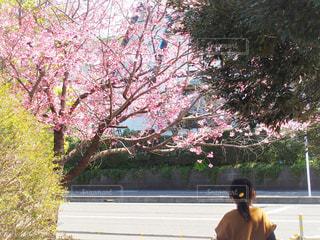 花,桜,屋外,ピンク,樹木,さくら,ブロッサム