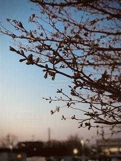 空,春,夕日,桜,屋外,枝,葉,夕方,シルエット,サクラ,樹木,蕾,草木,桜の木,これから,咲き始め,さくら,桜咲く,まだまだ,咲き途中