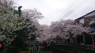 花,春,屋外,樹木,通り,さくら,ブロッサム