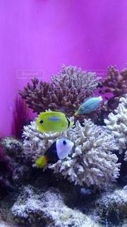 海,魚,綺麗,熱帯魚,紫,水族館,パープル,鮮やか,水中,明るい,アクアリウム,水槽,鮮明