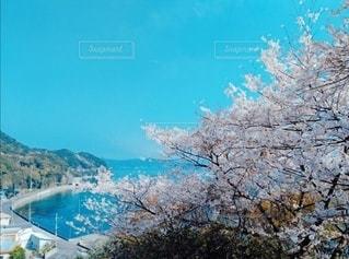 自然,空,花,春,桜,木,お花見,桜と青空