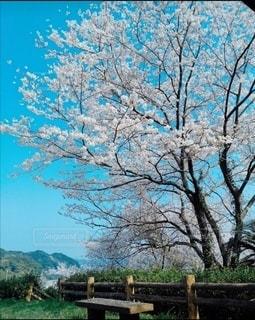 自然,空,花,春,屋外,青空,田舎,樹木,お花見,桜の花,さくら,ブロッサム,満開の桜,桜とベンチ