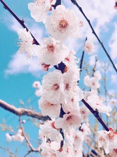 梅の花の写真・画像素材[3015892]