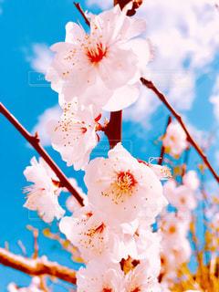 梅の花の写真・画像素材[3015899]