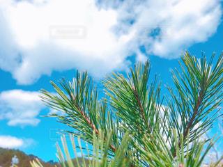 空,雲,青空,樹木,ブルー,松,グリーン,草木,パーム,松の葉