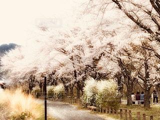 桜の写真・画像素材[3033876]