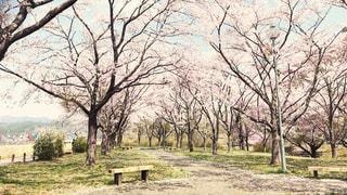 桜の写真・画像素材[3033889]