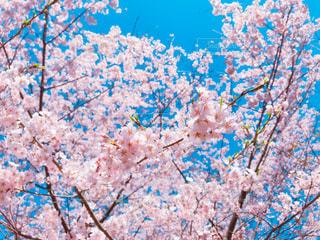 桜の写真・画像素材[3033934]