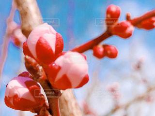 梅の蕾の写真・画像素材[3045065]