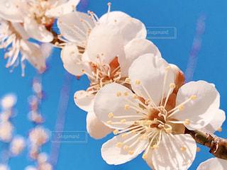 梅の花のクローズアップの写真・画像素材[3045060]