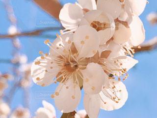 梅の花のクローズアップの写真・画像素材[3045063]