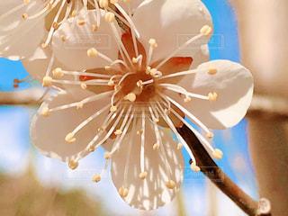 梅の花のクローズアップの写真・画像素材[3045064]