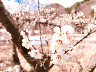 梅の花の写真・画像素材[3045069]