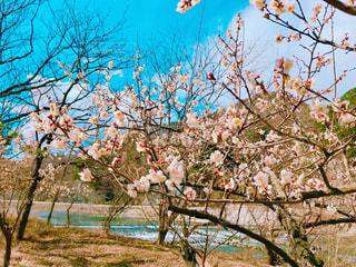 梅の花の写真・画像素材[3045072]