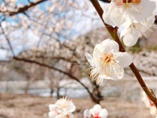 梅の花の写真・画像素材[3045068]