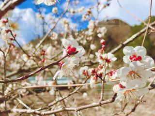 梅の花の写真・画像素材[3045070]