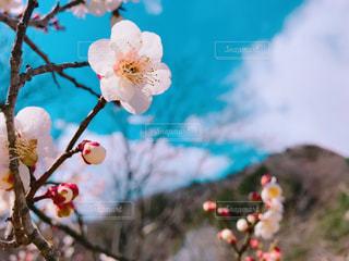 梅の花の写真・画像素材[3045071]
