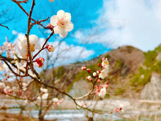 梅の花の写真・画像素材[3045073]