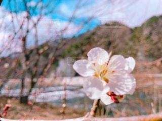 梅のクローズアップの写真・画像素材[3045074]