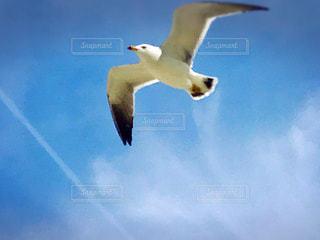 空,動物,鳥,白,青,カモメ,ウミネコ,水鳥,日中
