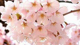 桜の写真・画像素材[3087494]