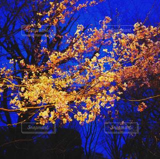 夜桜の写真・画像素材[3054470]